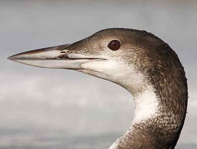 Winter Mophed Common Loon
